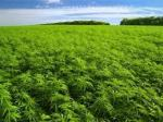 Miles of federally grown marijuana. Still worth it?